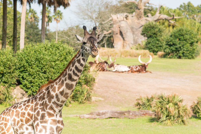 Kilimanjaro Safaris Giraffe - Animal Kingdom Walt Disney World