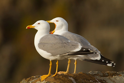 Yellow-legged Gull (Gaviota patiamarilla)