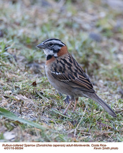 Rufous-collared Sparrow A86094.jpg