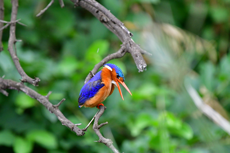 Malachite Kingfisher With Open Mouth