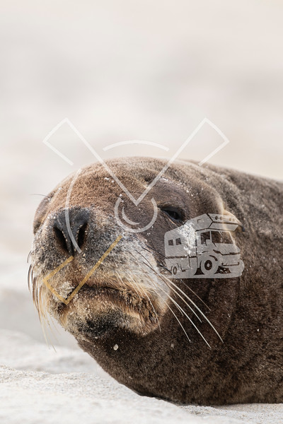 Portrait of female New Zealand Sea lion resting on the beach