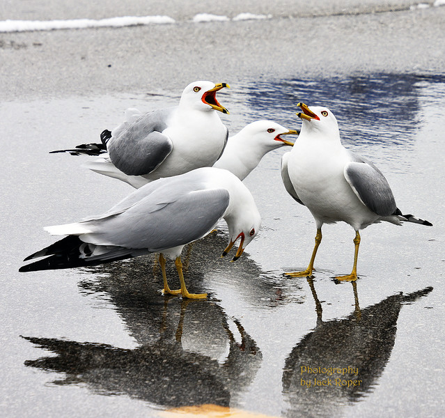 SEA GULL SINGING .jpg