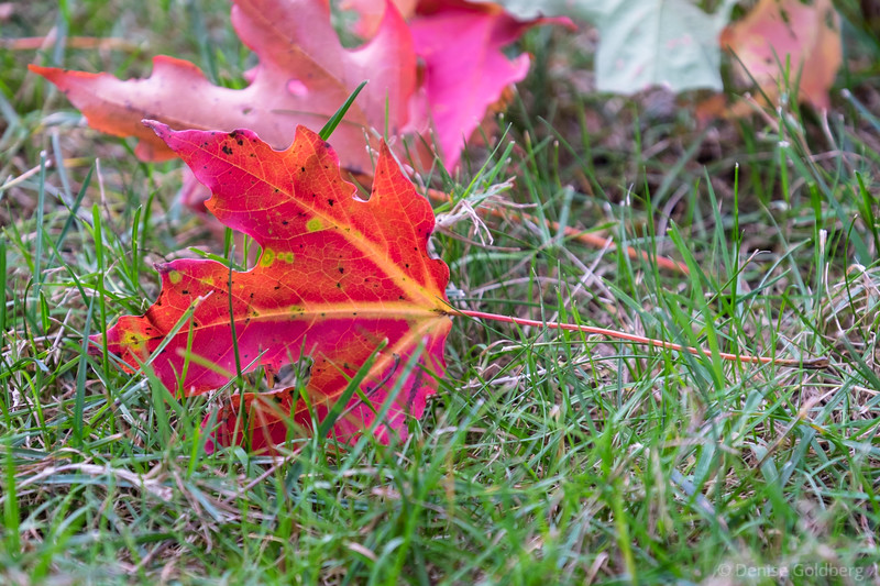 a maple leaf in bright red