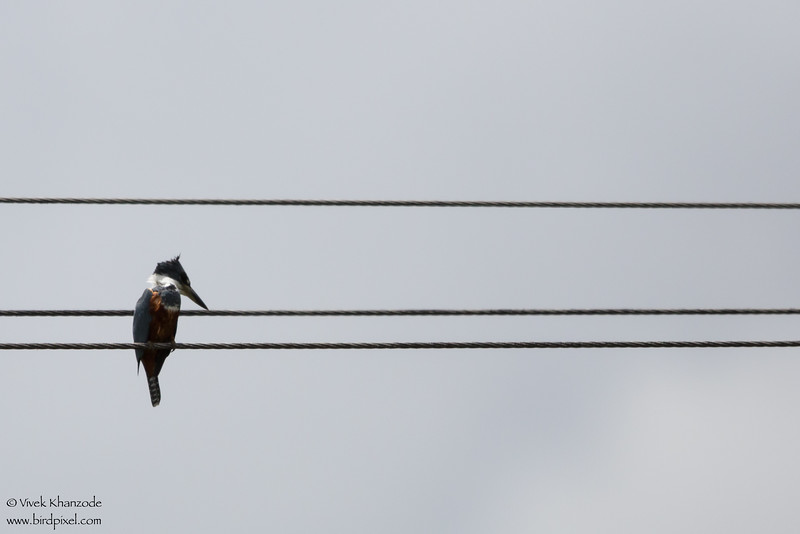 Ringed Kingfisher - Record - Aripo Agricultural Station, Trinidad