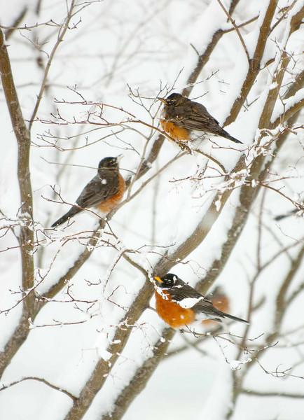 Robins1.jpg
