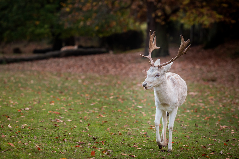 2019 - Deer at Knole Park November 001