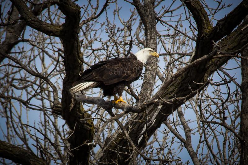 Eagle sitting-7036.jpg