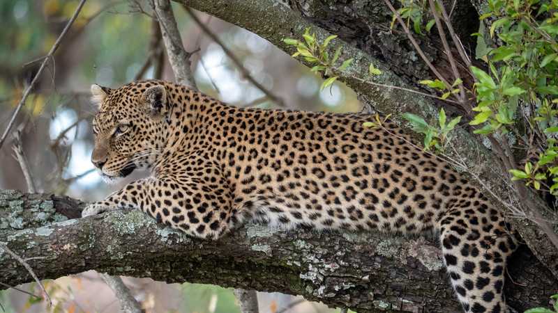 Tanzania-Serengeti-National-Park-Safari-Leopard-06.jpg