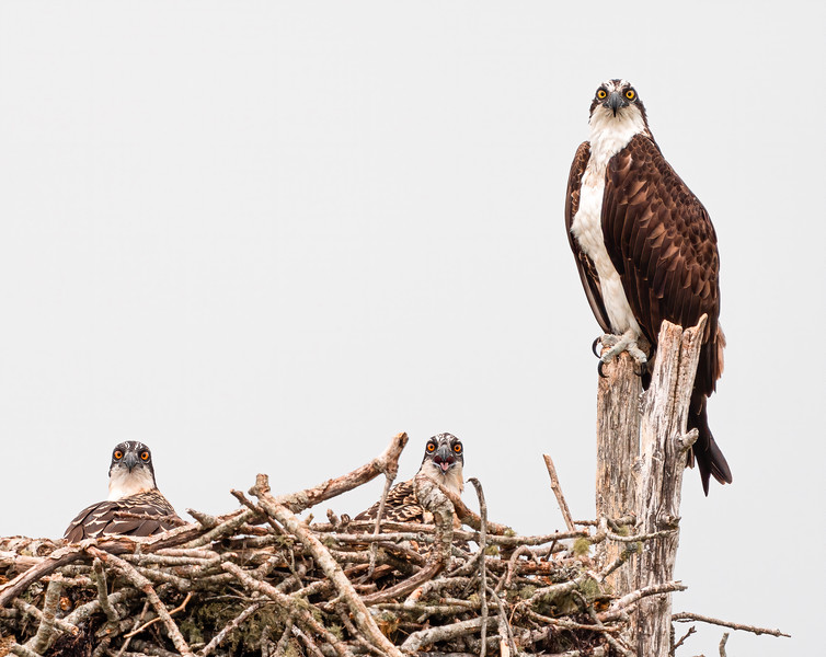 Osprey with goofy offspring
