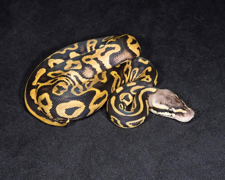 1843_F Leopard Pastel Het ghost, $150