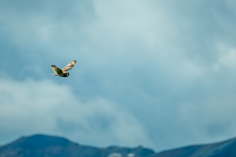 Short Necked  Owl, Katmai National Park