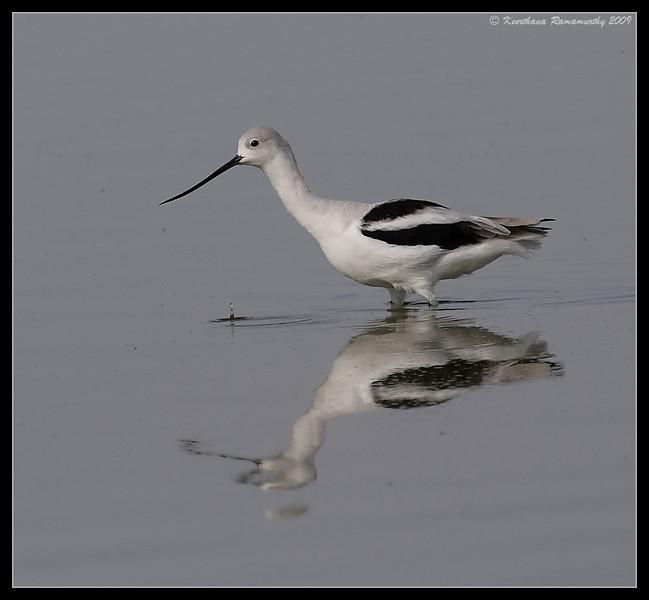 American Avocet, Salton Sea, Imperial County, California, November 2009
