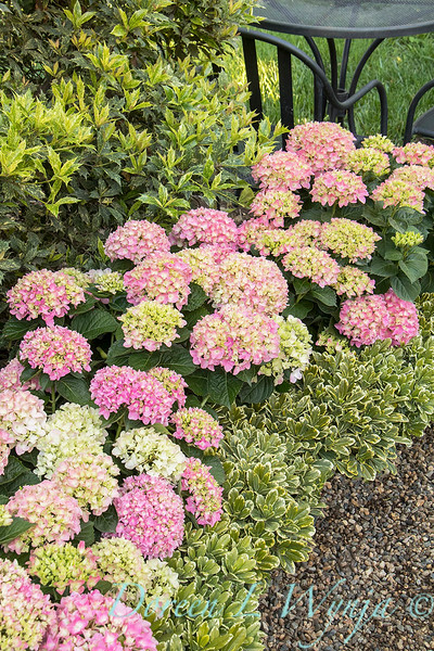 40984 Hydrangea macrophylla 'HMUPSI' Cape Cod - 6592 Pittosporum tobira 'Turner's Variegated Dwarf' Turner's Pitt - hedge_6696.jpg