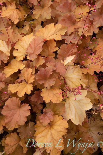 42914 Heuchera hybridus 'Amberouse'_2250.jpg