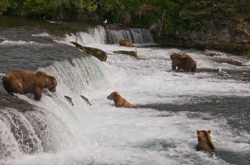 Bears at Brooks Falls.jpg
