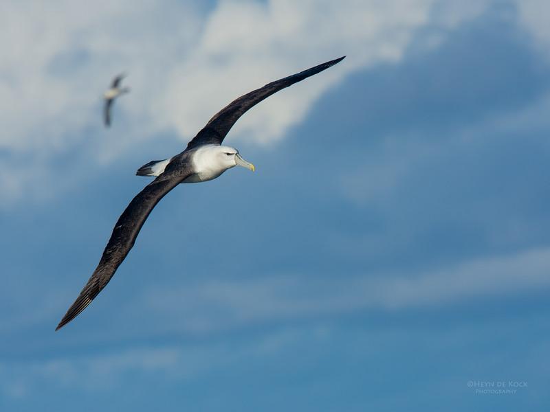 Shy Albatross, Eaglehawk Neck Pelagic, TAS, May 2016-13.jpg