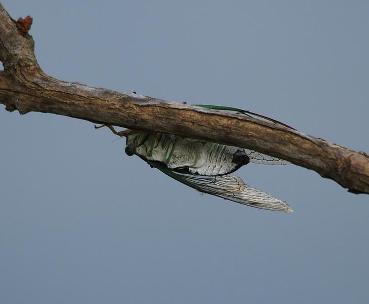 Cicada sp