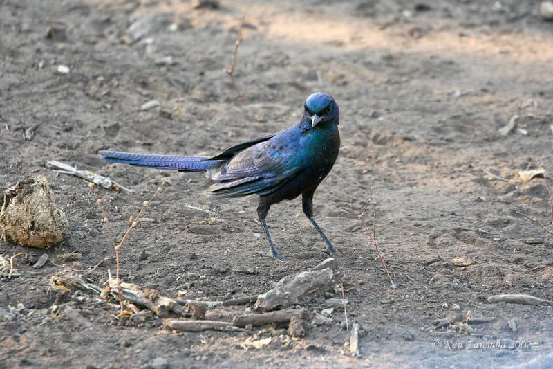 Burchell's Glossy  Starling, Mashatus Game Reserve, Botswana