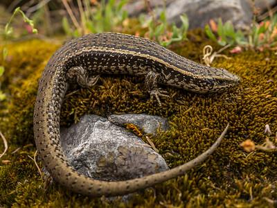 New Zealand Reptiles & Amphibians