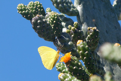 Yellow Butterfly on Cacti Blossom December 2013, Cynthia Meyer, Maui, Hawaii