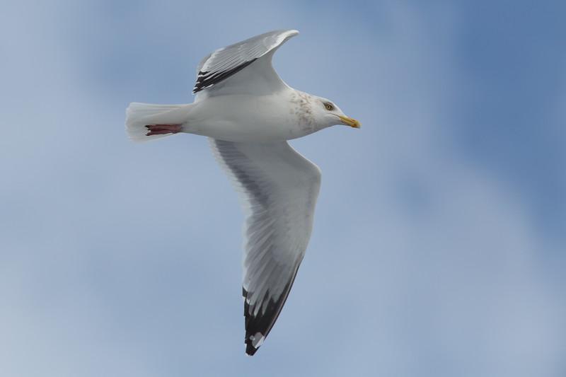 Soft Touch Sea Gull