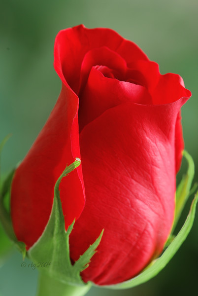 Flower_Rose_Red_0398.jpg