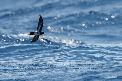 New Caledonian Storm-Petrel (Fregetta sp.) undescribed