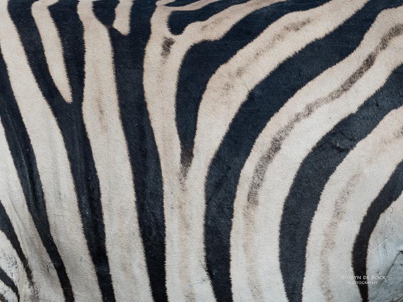 Burchell's Zebra, Khwai River Concession, Botwana, May 2017-1.jpg