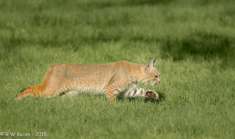 Bobcat - Stalking.jpg