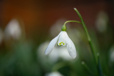 Snowdrops - after the rain
