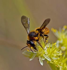 Megachile ericetorum (Lepeletier, 1841)