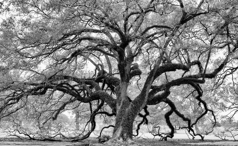 The Oaks of Louisiana