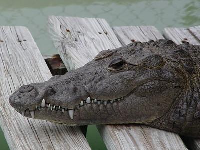 Alligators, Crocodiles, Iguanas, and Turtles