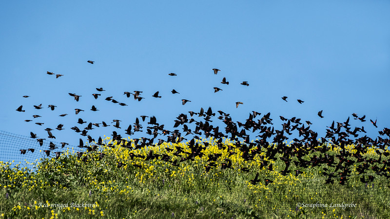 _DSC8777Four Hundred Red-winged Blackbirds.jpg