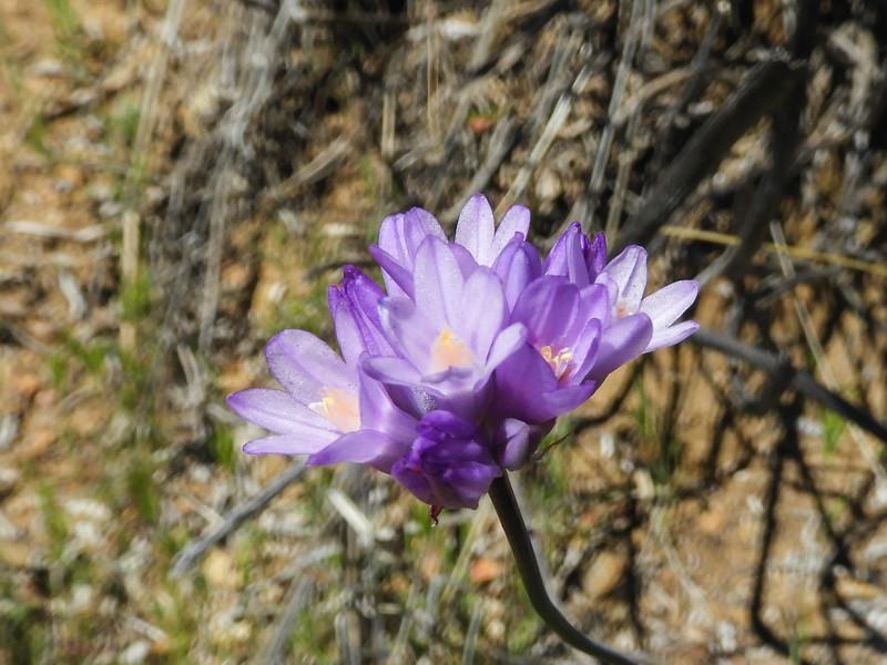 Wild Hyacinth (Dichelostemma capitatum) THEMIDACEAE