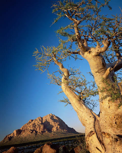 Baja California Sur,, MEX/Vizcaino Desert. Sunset light on Pico el Gato and a type of elephant tree a Torote (Pachycormus discolor). 295V9