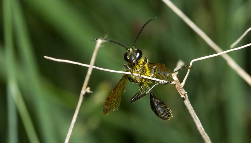 Thread-waisted wasp (Sphecidae, Isodontia sp.) from Iowa.