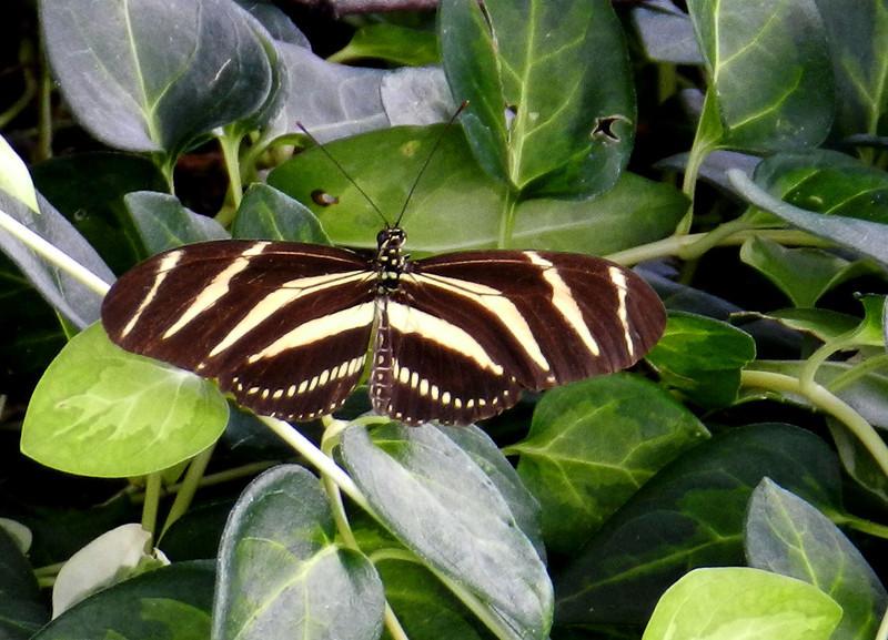 Zebra Heliconian2.jpg