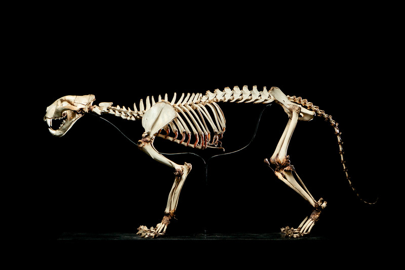 Tiger skeleton