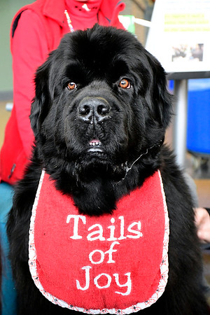 3/11/2020 Mike Orazzi | Staff Wrigley a Newfoundland handled by Laurel Rabschutz, while at Tunxis Community College in Farmington to help students relieve some mid-semester stress.