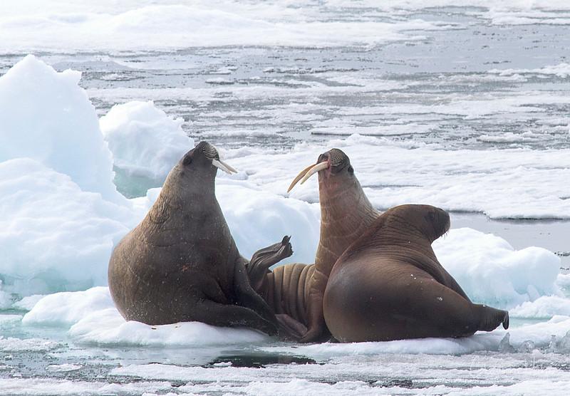 Walrus family on ice.jpg