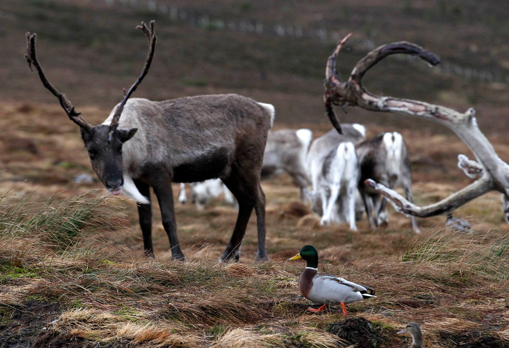 . Ducks walk past a herd of reindeer in the Cairngorm Mountains near Aviemore, Scotland December 28, 2012. The 150 strong Cairngorm Reindeer Herd is Britain\'s only herd of reindeer. REUTERS/David Moir