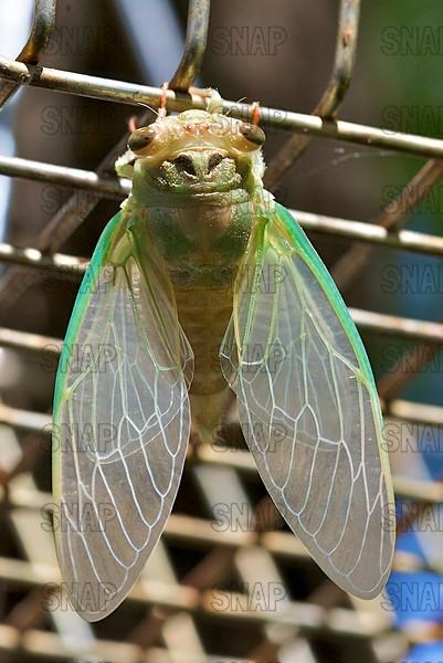 Cicada (Tibicen texanus).