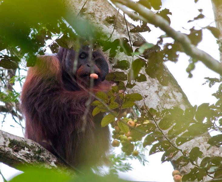 Orang Utan in the wild