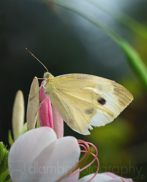 Pale Wing: Cabbage White Butterfly Perched on Flower