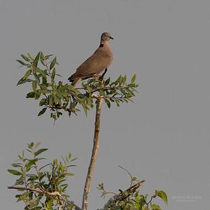 Mourning Collared Dove (Streptopelia decipiens)