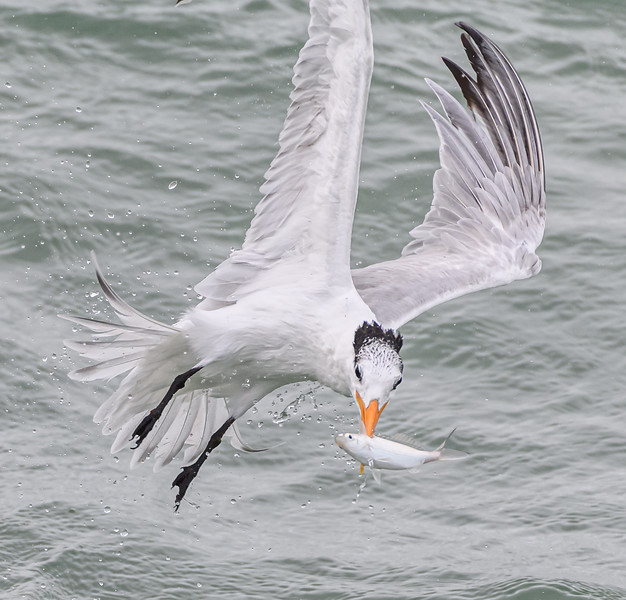 Royal Tern just snagged a fish
