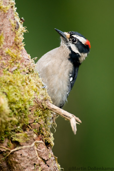 Downy Woodpecker, Vancouver Island.