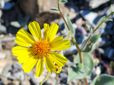 2016 Death Valley in  Bloom