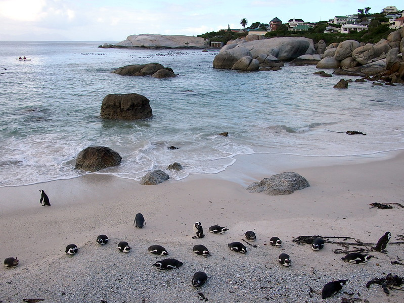P5197299-penguins-on-the-beach.JPG